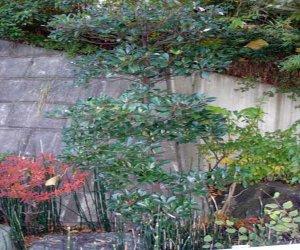 モッコク:モッコク科モッコク属の常緑高木