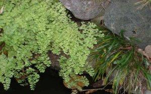 ホウライシダ:ホウライシダ科ホウライシダ属の植物